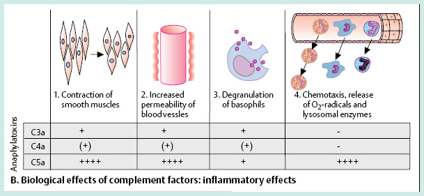 Biological_effects_of_complement_factors_inflammatory_effects