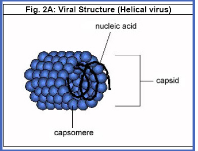 Viral_Structure_Helical_virus